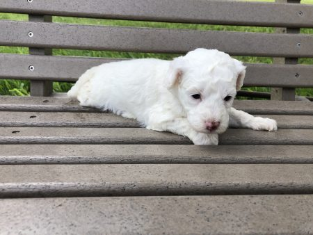 Micro Goldendoodle